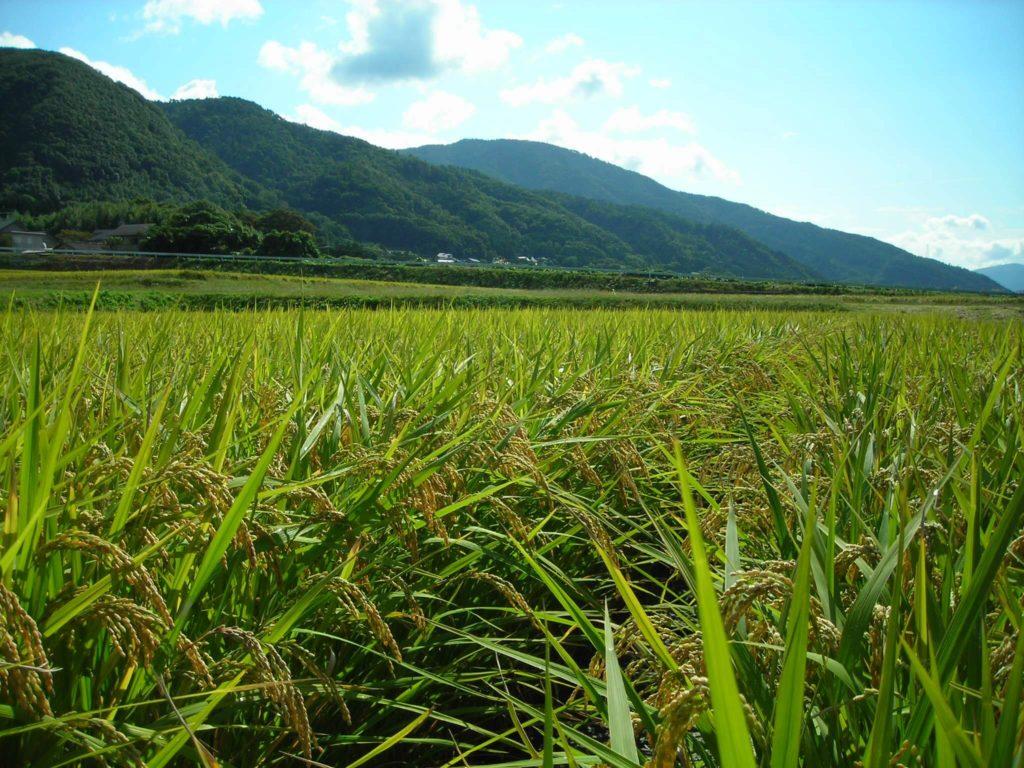 自然農法無農薬栽培田 出穂後の様子