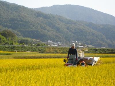稲刈り、自然農法無農薬田にて