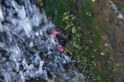 湧水と沢ガニ<きれいな水(水質階級I)の指標生物>