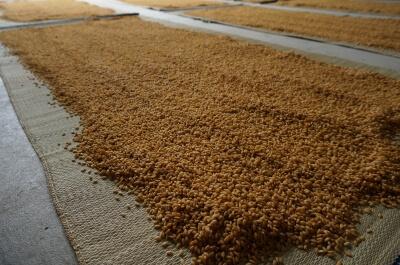 自家採種した自然農法無農薬の種もみ(品種:にこまる)