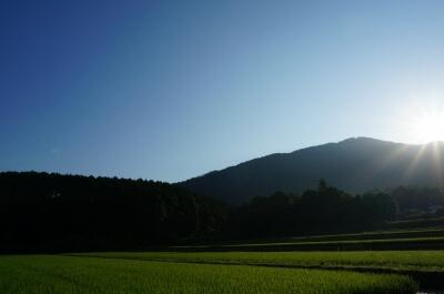 夏の自然農法無農薬田