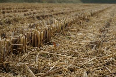 収穫後の様子(自然農法無農薬の田んぼ)
