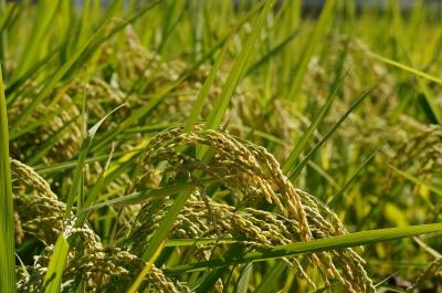 稲穂、自然農法無農薬栽培