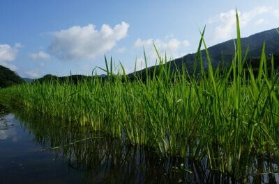 夏、無農薬自然農法の稲