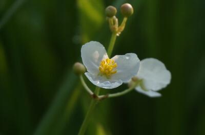 オモダカの花(自然農法無農薬の田んぼにて)