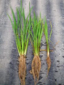 自然農法無農薬の稲の調査