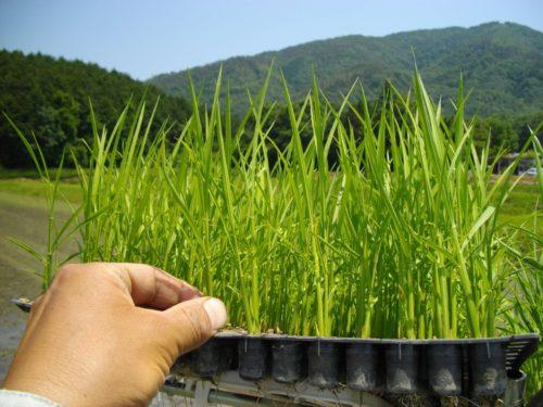 無農薬・無肥料のポット苗