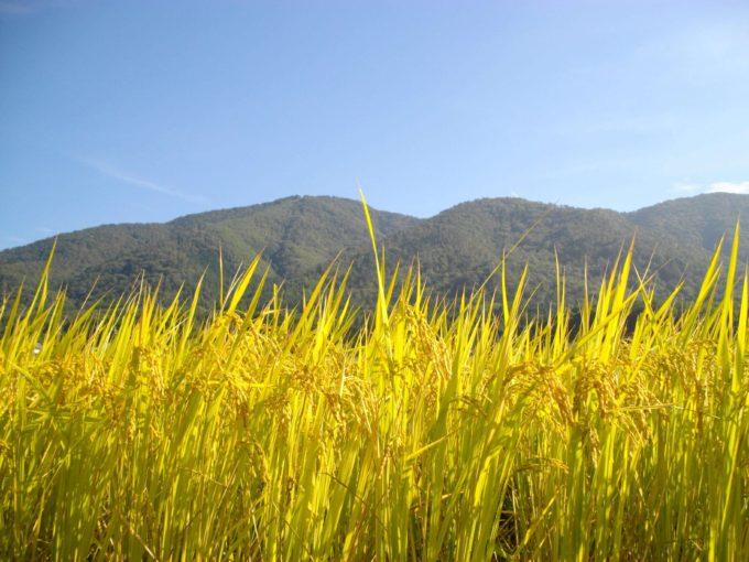 収穫前、自然農法無農薬栽培の田んぼにて