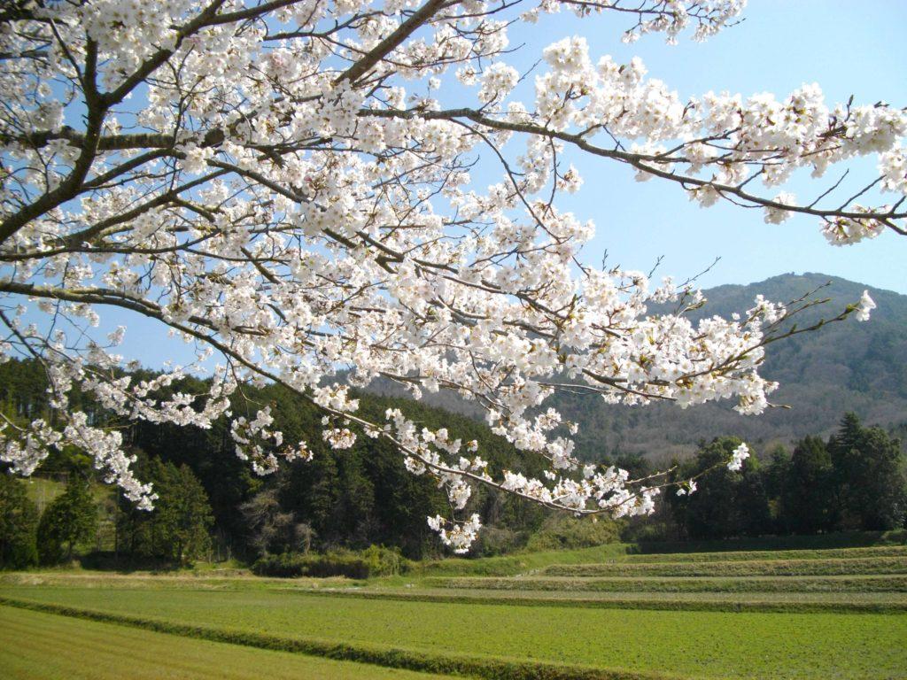 春・桜、京都丹波の里はらだ自然農園