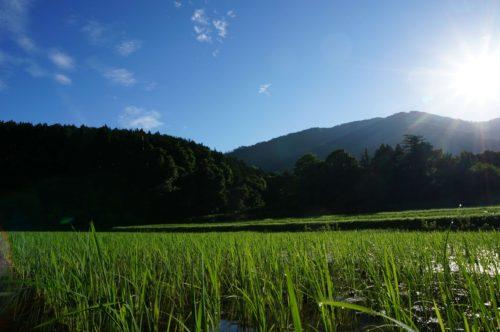大雨の後の田んぼ2