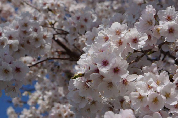桜、田園にて
