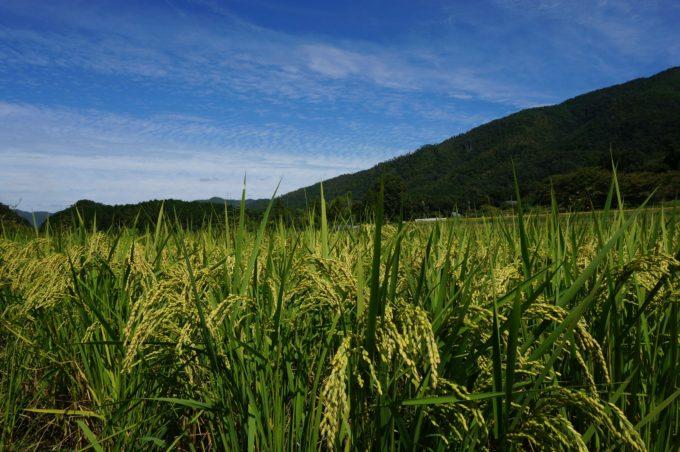 京都丹波の里はらだ自然農園の自然農法田 2019年9月20日撮影