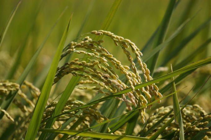 秋、稲穂、自然農法の田んぼにて