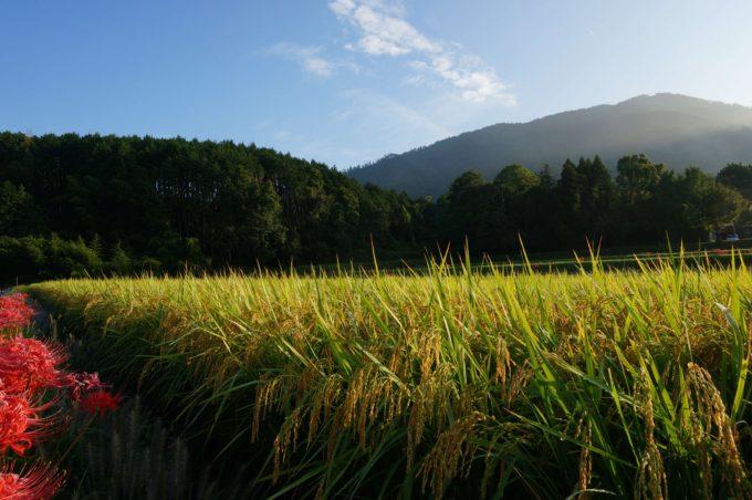 自然農法無農薬田 京都丹波の里はらだ自然農園