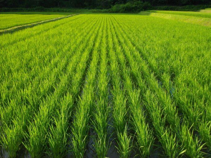 自然農法田(京都丹波の里はらだ自然農園)