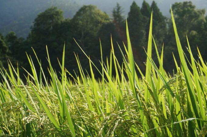 京都丹波の里はらだ自然農園 自然農法の稲